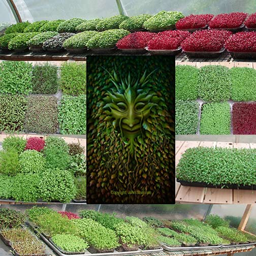 Greenman Microgreens